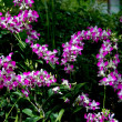 Singapore: Purple and White Orchids at Singapore Botanical Garden — Stock Photo
