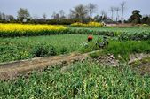 China: Farmlands with Green Garlic and Yellow Rapeseed Flowers — Stock Photo