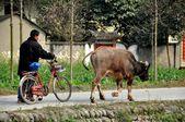 Čína: farmář chůzi na kole a jeho vodního buvola v pengzhou — Stock fotografie