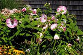 Provincetown, Massachusetts: Large Pink Mallows in a Garden — Stock Photo