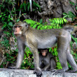 Bang Saen, Thailand: Mother Monkey with her Baby — Stock Photo