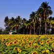 Lop Buri,Thailand: Field of Sunflowers — Stock Photo