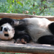 China: Sleeping Giant Panda — Stock Photo