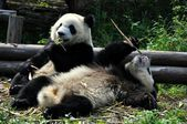 China: Giant Pandas Eating Bamboo at Chengdu Panda Preserve — Stock Photo