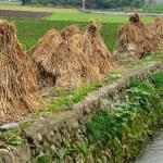 China: Drying Rice Bundles on a Sichuan Farm — Stock Photo