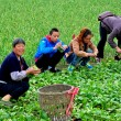 China: Famers Harvesting Bok Choy — Stock Photo