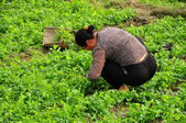 China: Woman Cutting Pea Plants on a Sichuan Province Farm — Stock Photo