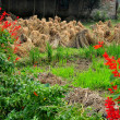 Stock Photo: China: Salvia and Bundled Rice Plant Stalks