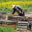 China: Beekeeper Tending to Hive Boxes — Stock Photo