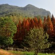 SichuProvince, China: Grove of Autumnal SShou Trees — Stock Photo #35705743