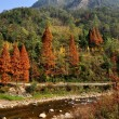 Sichuan Province, China: San Shou and Gingko Trees in Autumn — Stock Photo