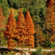 Sichuan Province, China:  Brilliant Orange San Shou Trees — Stock Photo