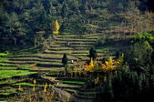 Sichuan Province, China: Terraced Farmlands and Golden Gingko Trees — Stock Photo