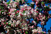 NYC: Masses of Apple Tree Blossoms — Stock Photo