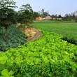 Stock Photo: China: Fields of Vegetables on SichuFarm in Pengzhou