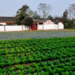 Stock Photo: China: Whitewashed SichuFarmhouse and field of Cabbages in Pengzhou