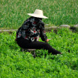 Pengzhou, China: Woman Working in a Field of Pea Plants — Stock Photo