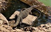 Komodo Dragon in Bangkok, Thailand's Lumphini Park — Stock fotografie