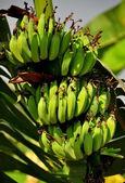 Kilka bananów, które rośnie na drzewie w saraburi — Zdjęcie stockowe