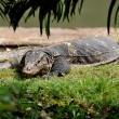 Bangkok, Thailand: Komodo Dragon in Lumphini Park — Stock Photo