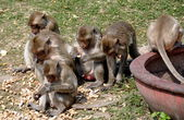 Lopburi, Thailand: Monkeys Eating Peanuts at Wat San Yot — 图库照片