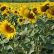 Stock Photo: Lopburi, Thailand: Sunflowers in Field