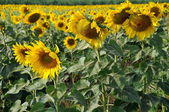 Lopburi, Thailand: Sunflowers in Field — Stock Photo