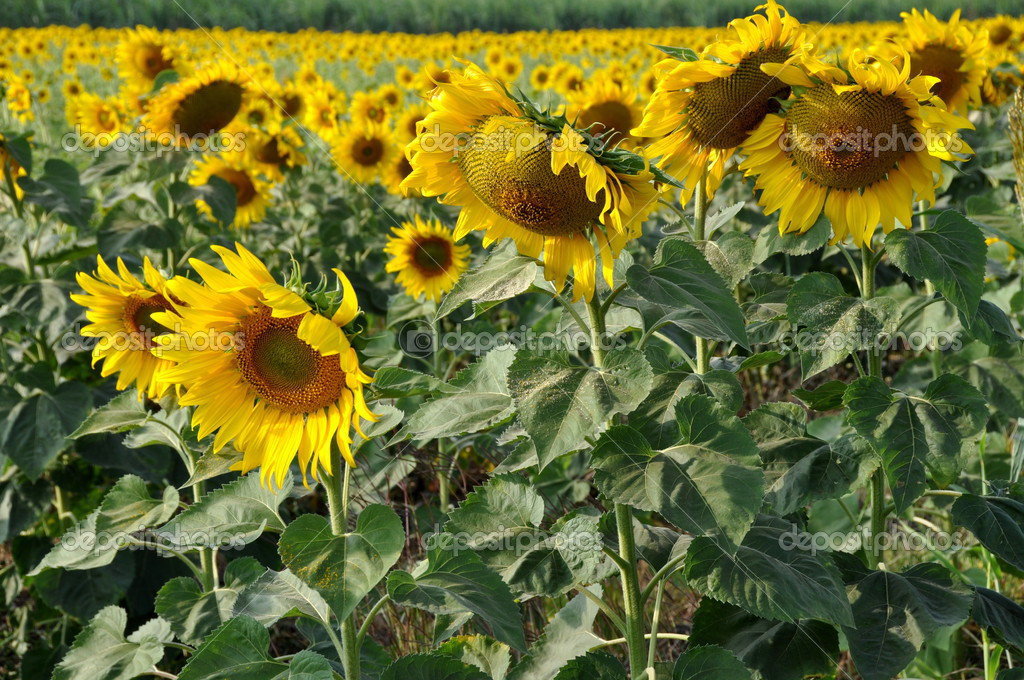 sunflower thai singlar på facebook