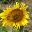 Stock Photo: Lopburi, Thailand: Closeup of Thai Sunflower