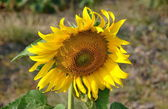 Lopburi, Thailand: Closeup of Thai Sunflower — Stock Photo