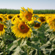 Stock Photo: Lopburi, Thailand: Field of Sunflowers