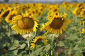 Lopburi, Thailand: Field of Sunflowers — Stock Photo