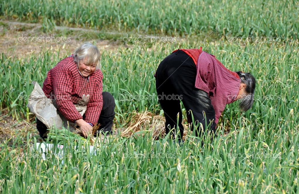 Le jun cina le donne cinesi che lavorano nel campo for Piani di fattoria di 2000 piedi quadrati