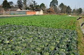 Pengzhou, China: Fields of Cabbages and Winter Crops on Sichuan Farm — Stock Photo