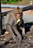 Bang Saen, Thailand: Monkey Eating Banana — Foto de Stock