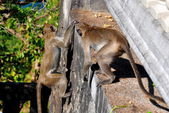 Bang Saen, Thailand: Two Playful Monkeys — Stockfoto