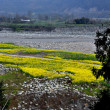 Pengzhou, China: Jian Jiang River and Yellow Rapeseed Flowers — Stock Photo