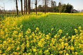 Green Garlic and Yellow Rapeseed Flowers in Pengzhou, China — Foto Stock