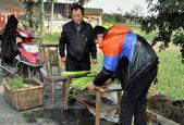 Pengzhou, China: Farmers Bundling Garlic — Stock Photo