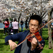 Washington, DC: Violinist with Cherry Trees at Tidal Basin Park — Stock Photo #44778379