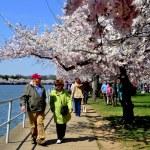 Washington, DC: Tidal Basin Cherry Trees — Stock Photo #44778383