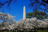 Washington, DC: Cherry Blossoms Frame the Washington Monument — Stock Photo