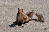 Gray Squirrel in Park — Stock Photo