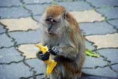 Penang, Malaysia: Monkey Peeling Banana — Stock Photo