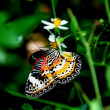 Batu Ferringhi, Malaysia: Butterfly Sipping Nectar — Stock Photo #51184703