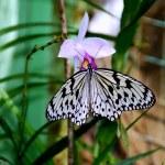 Batu Ferringhi, Malaysia: Butterfly Drinking Nectar — Stock Photo #51184719