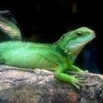 Batu Ferringhi, Malaysia: Lizard at Butterfly Farm — Stock Photo #51185517