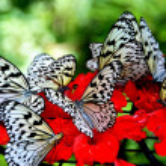 Batu Ferringhi, Malaysia: Butterflies Sipping Nectar — Stock Photo #51185527
