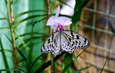 Batu Ferringhi, Malaysia: Butterfly Drinking Nectar — Stock Photo