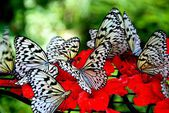 Batu Ferringhi, Malaysia: Butterflies Sipping Nectar — Stock Photo
